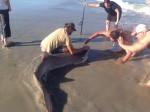 8 ft. shark